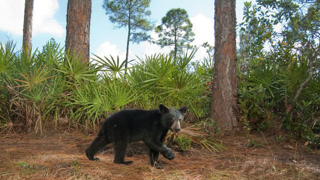 Florida Black Bear, Hendrie Ranch, Highlands County. Photo by Carlton Ward Jr.