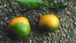 HLB infected oranges