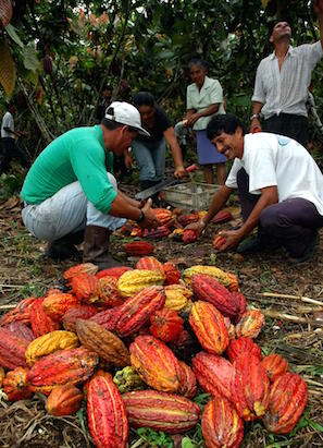 South American farmers harvesting and processing cacao beans.